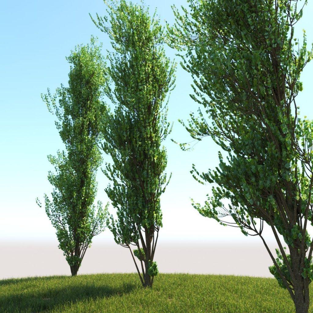 3d lombardy poplar tree